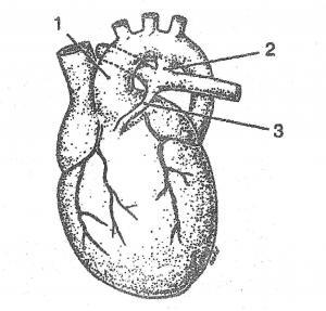 Почему сердечная аорта внезапно расширяется