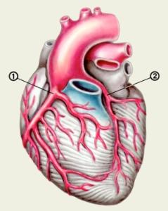 Виды артерий грудины