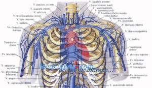 Какие артерии существуют в области груди и ребер