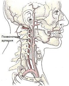 Сегменты артерии позвоночника