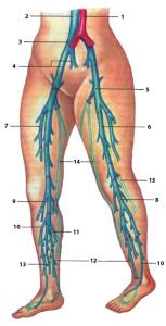 Анатомия и функции поверхностной бедренной артерии