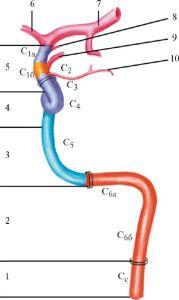 Строение внутренней сонной артерии и ее сегменты