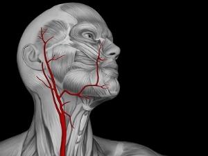 Функции сонных артерий человека