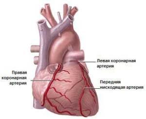 Особенности анатомии коронарных артерий