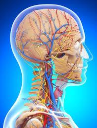 Особенности анатомии артерий головы и шеи