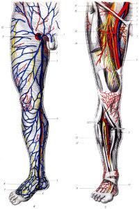 Сведения об анатомии и заболеваниях бедренной артерии