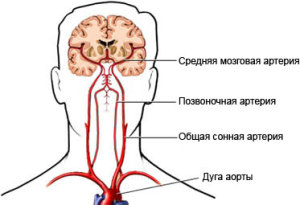 Артерии головного и шейного отделов
