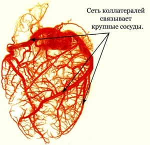 Типы кровоснабжения миокарда