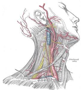 Анатомия яремной вены